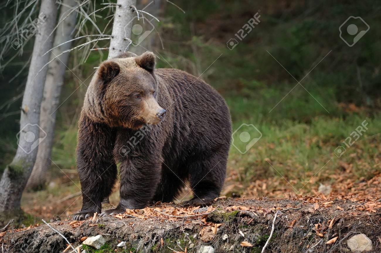 Big brown bear (Ursus arctos) in the forest Standard-Bild - 42722512