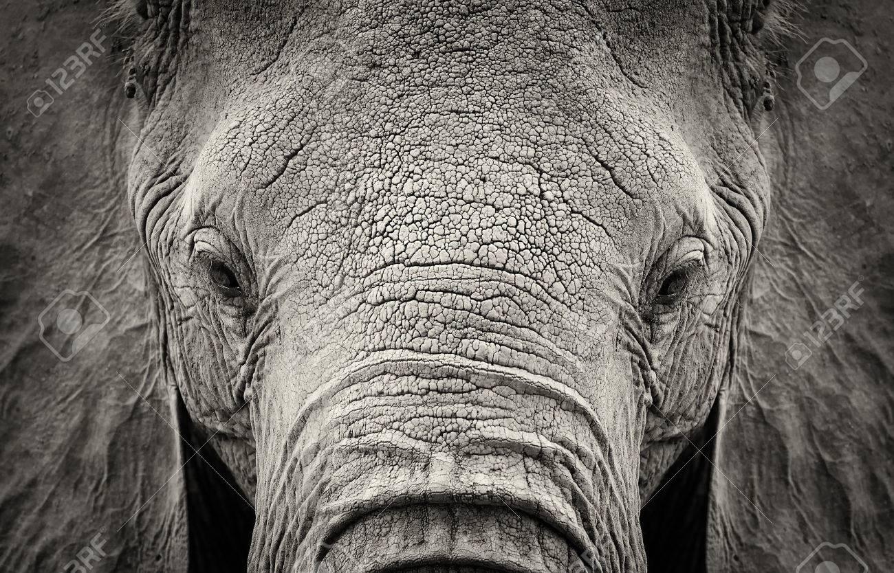 Close-up of African Elephant (Loxodonta africana). Kenya, Africa Standard-Bild - 44851163