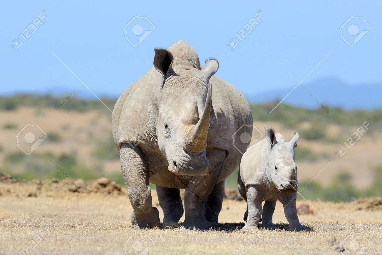 African white rhino, National park of Kenya Standard-Bild - 45200067