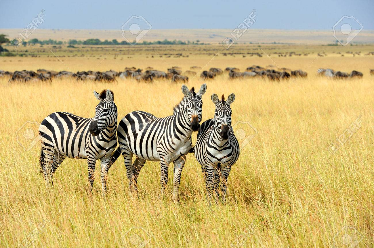 Zebra on grassland in Africa, National park of Kenya Standard-Bild - 45200070