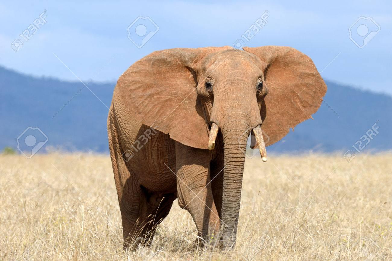 Red elephant in National park of Kenya, Africa Standard-Bild - 45200384