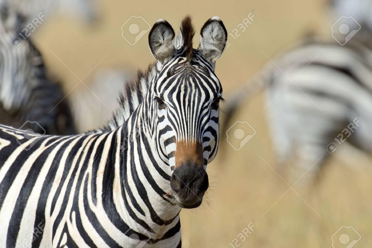 Zebra on grassland in Africa, National park of Kenya Standard-Bild - 46038327