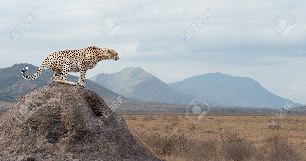 Wild african cheetah, beautiful mammal animal. Africa, Kenya Standard-Bild - 46038498