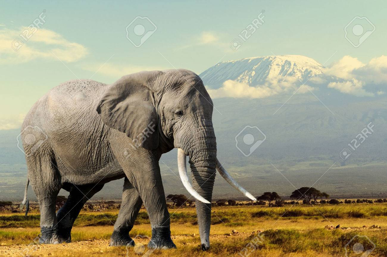 Elephant on Kilimajaro mount background in National park of Kenya, Africa Standard-Bild - 47628609