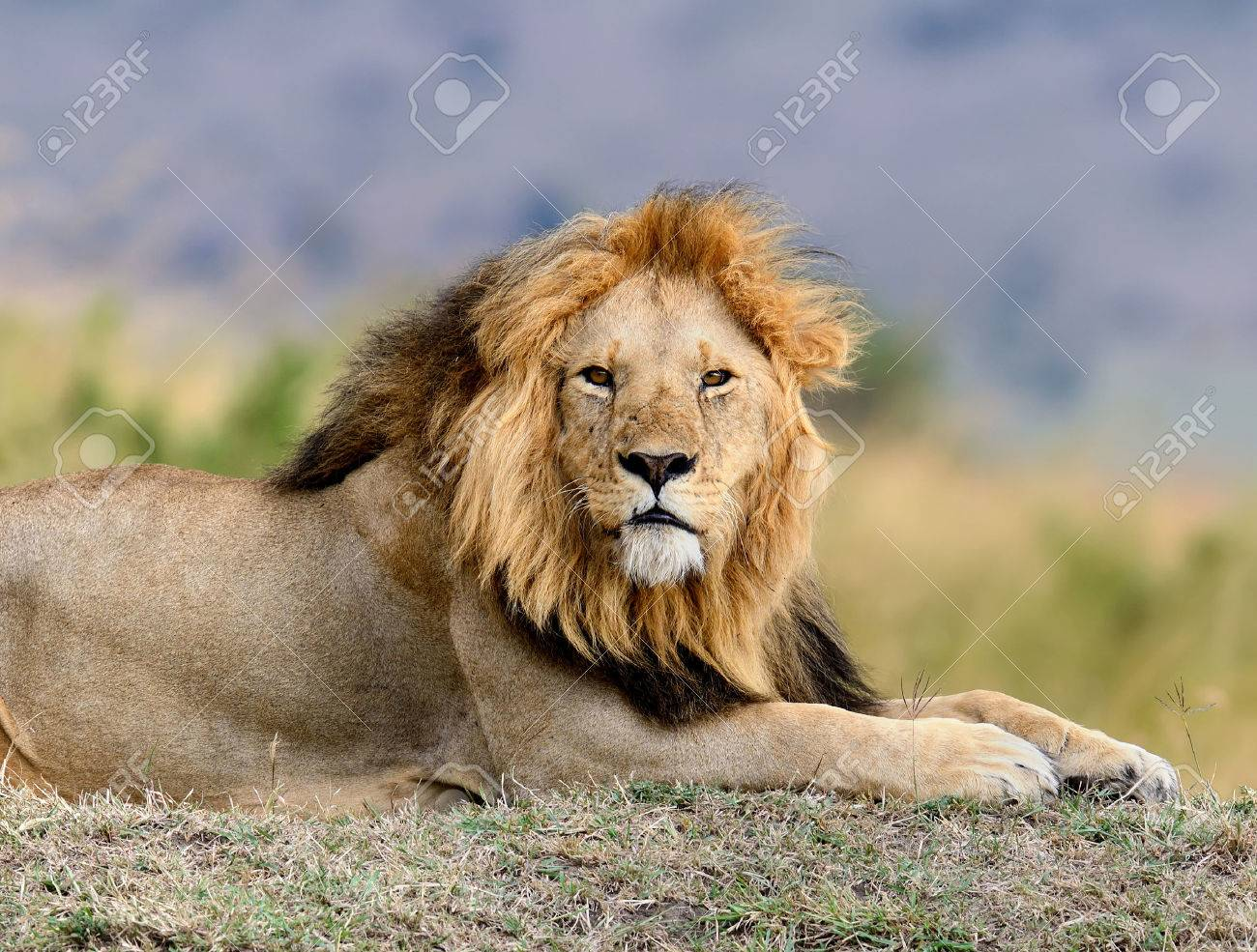 Close lion in National park of Kenya, Africa Standard-Bild - 47628616