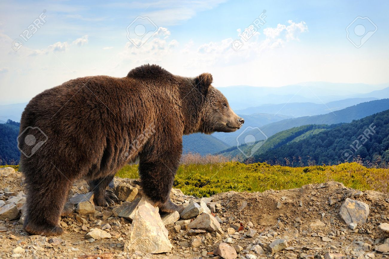 Big brown bear (Ursus arctos) in the mountain Standard-Bild - 47628619