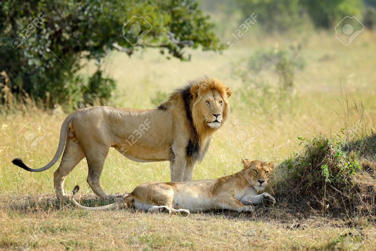 Close-up lion in National park of Kenya, Africa Standard-Bild - 48166812