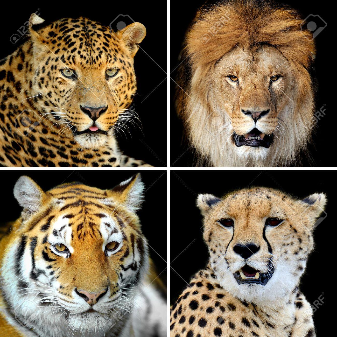 Quatre grands chats sauvages (léopard, tigre, lion, guépard) Banque d\u0027