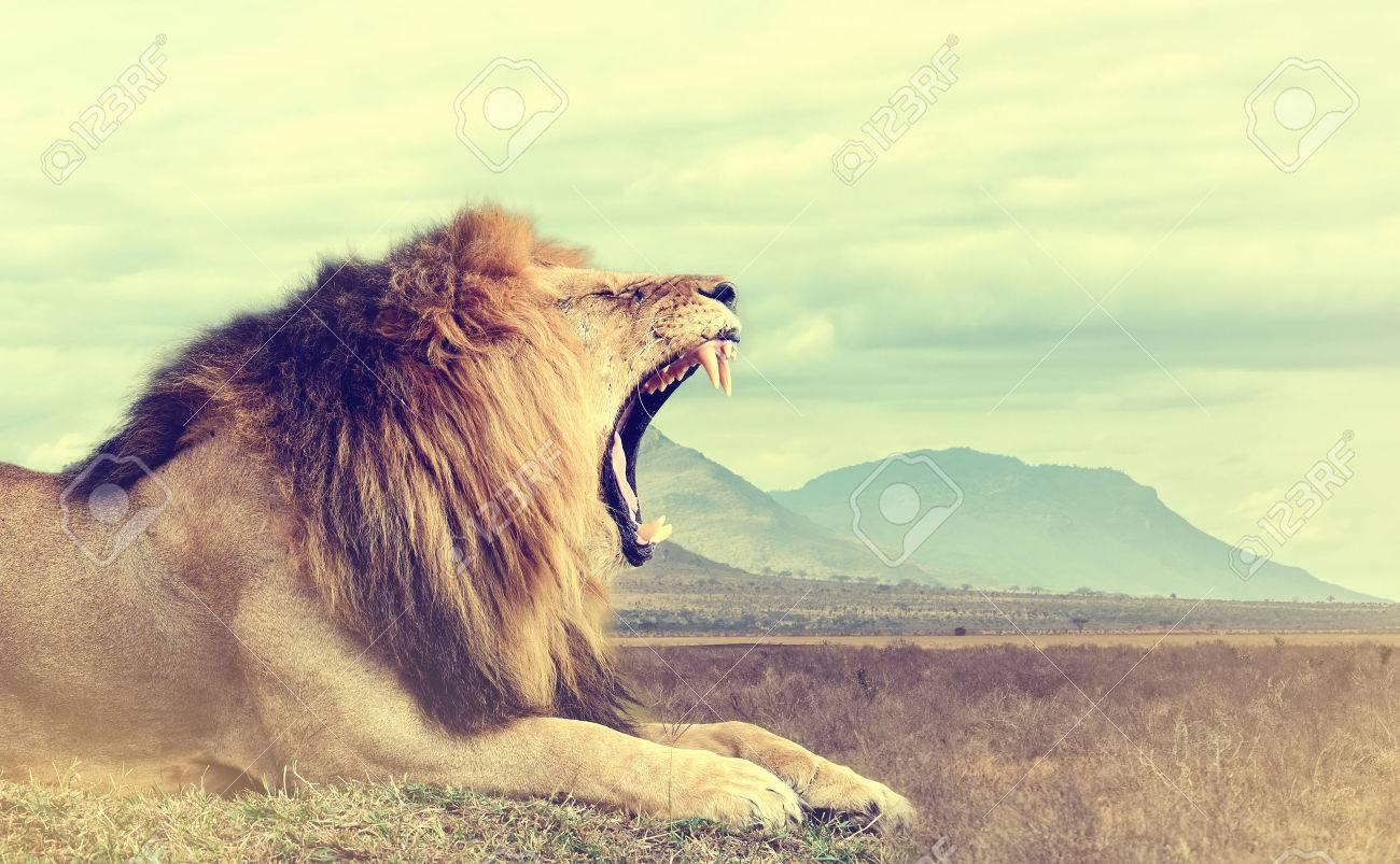 Wild african lion. Vintage effect. National park of Kenya, Africa Standard-Bild - 51798994
