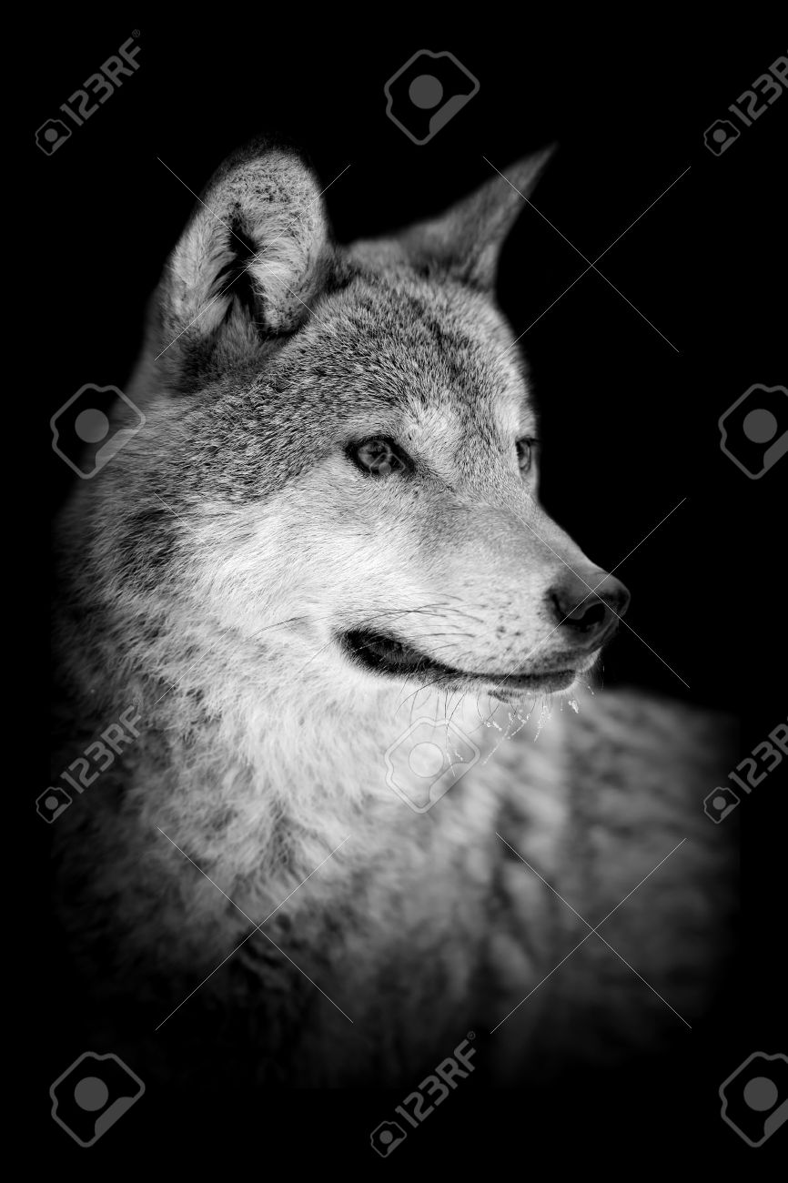 Wolf on dark background black and white image
