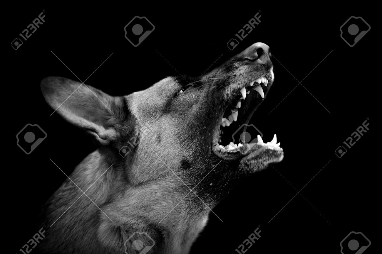 Angry Dog On Dark Background Black And White Image Stock Photo