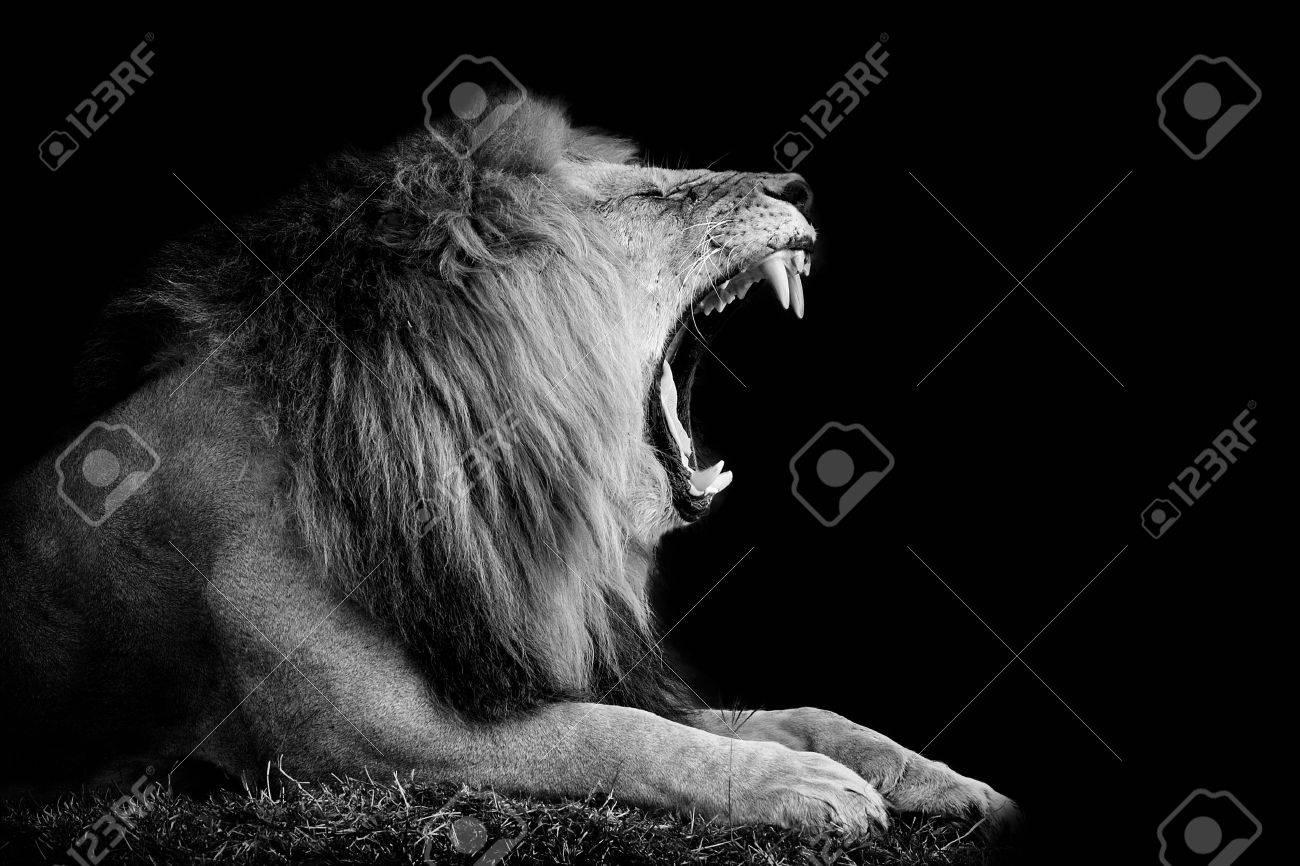 Lion on dark background. Black and white image - 53678958
