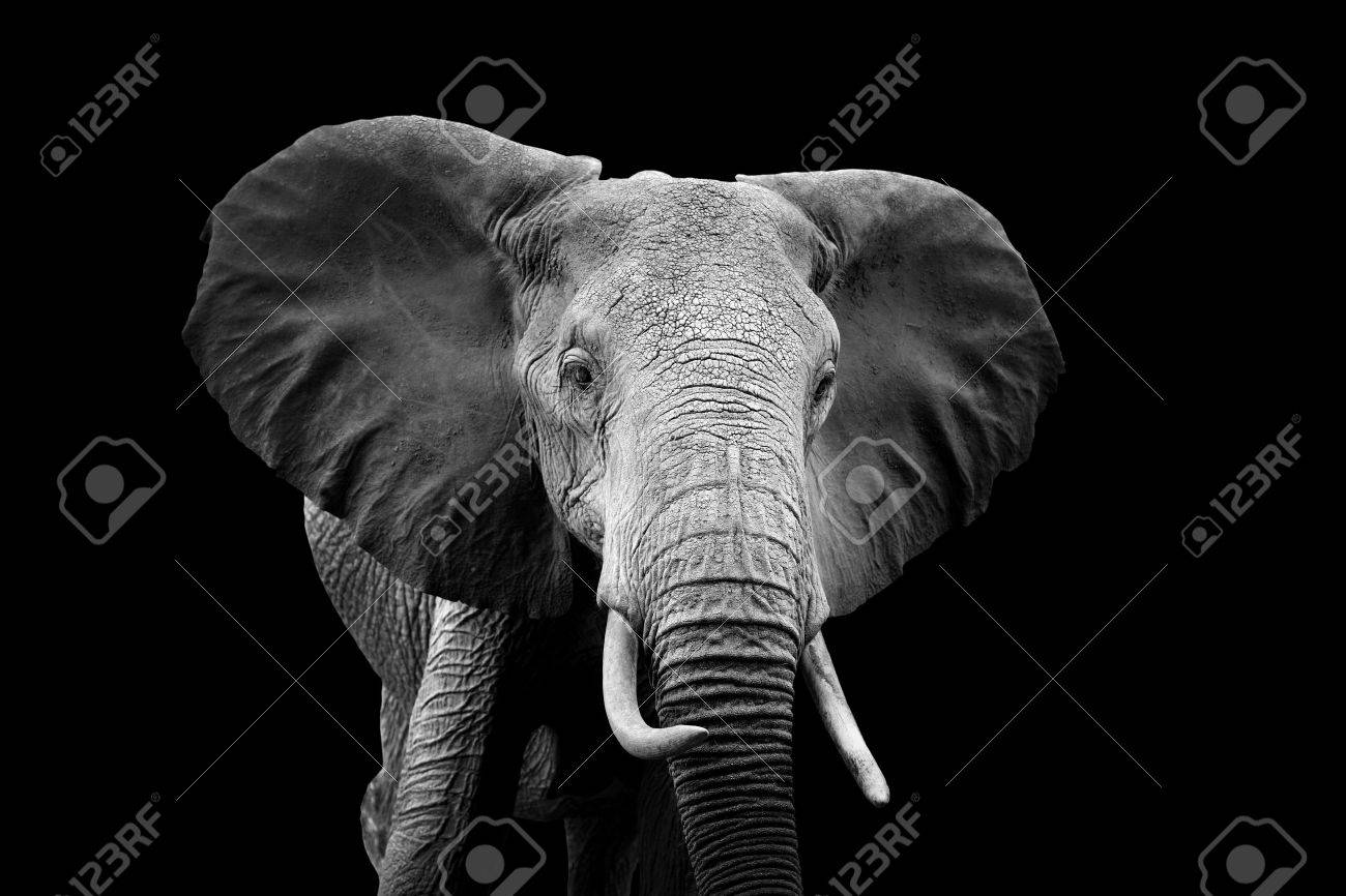 Elephant on dark background. Black and white image Standard-Bild - 53678950
