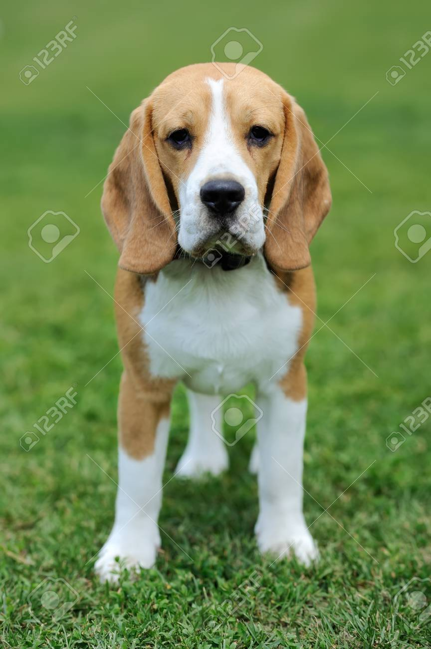 Close Funny Beagle Dog In Green Summer Grass Stock Photo Picture And Royalty Free Image Image 59731597