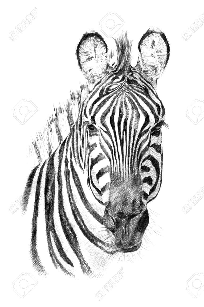Portrait of zebra drawn by hand in pencil originals no tracing