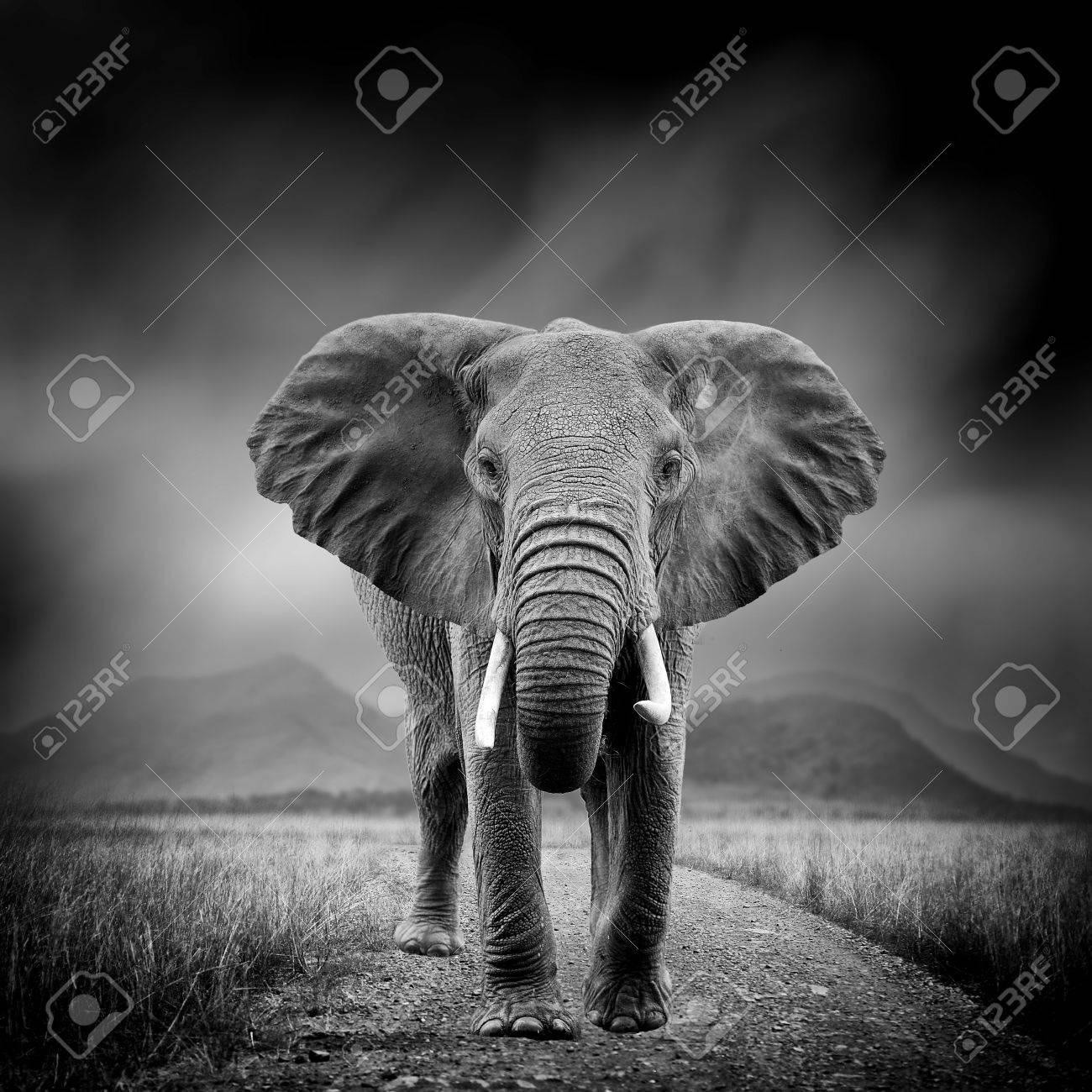 Image noir et blanc dramatique d'un éléphant sur fond noir Banque d'images - 76763062