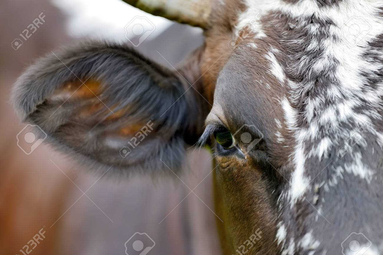 Large Eyes With Eyelashes A Cow Stock Photo Picture And Royalty