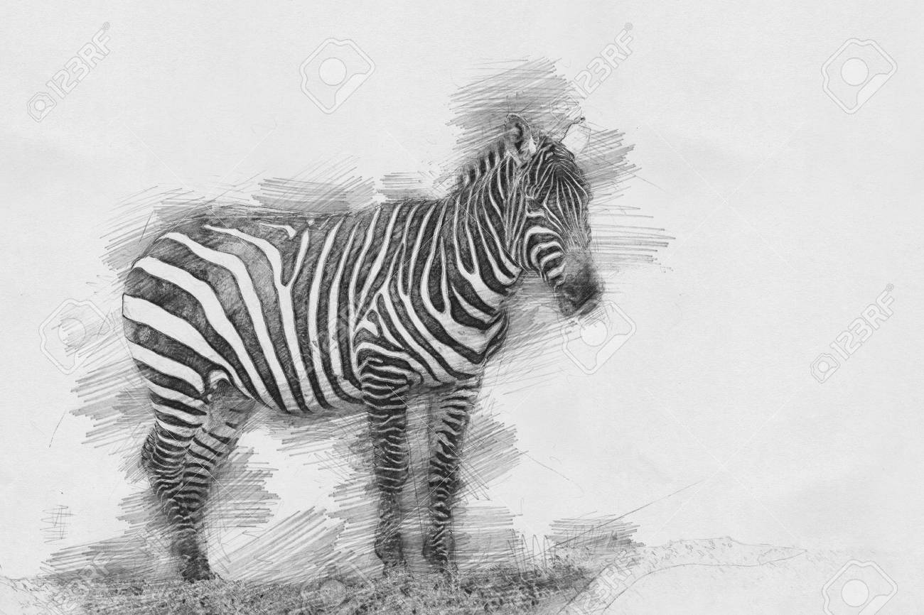 Stock photo zebra black and white sketch with pencil