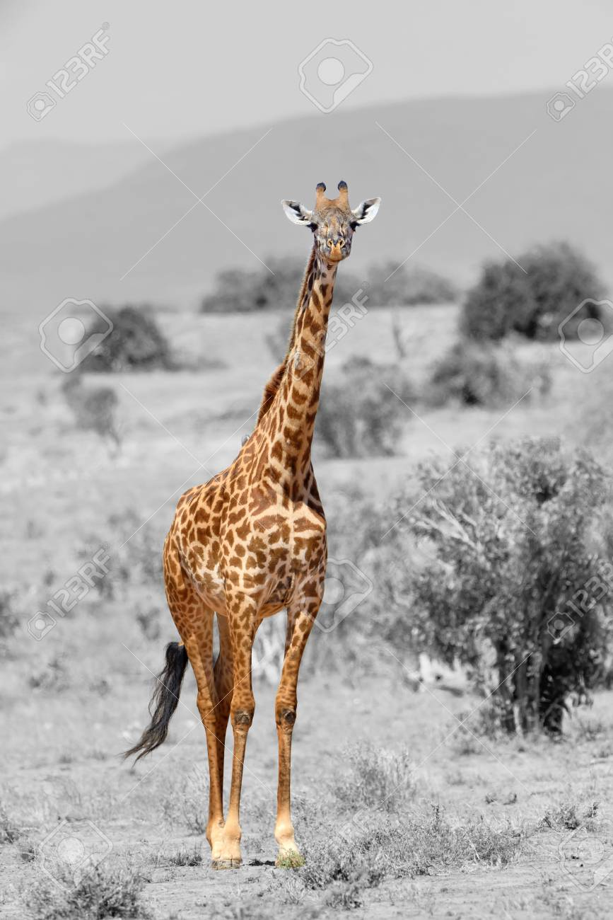 Giraffe in national park of kenya africa black and white photography with color giraffe