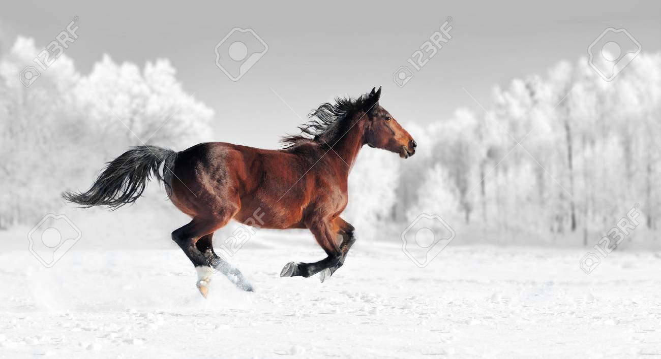 Horse Runs Gallop On The Winter Field Black And White Photography Stock Photo Picture And Royalty Free Image Image 89780595