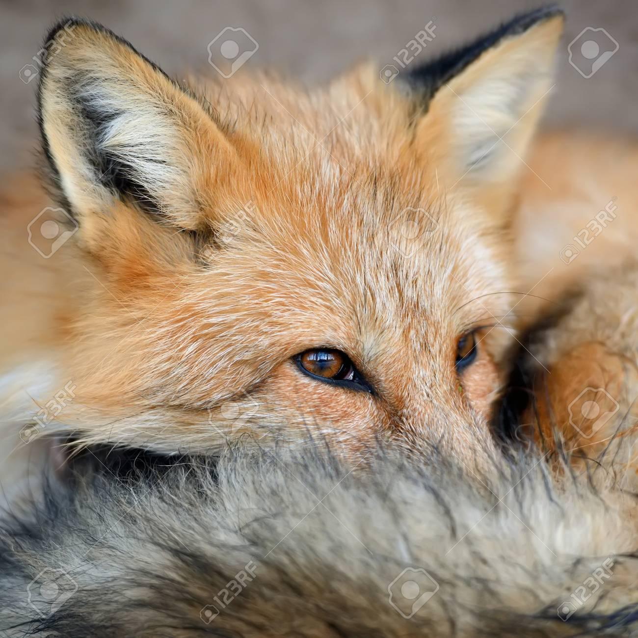 近くの赤狐 (ホンドギツネ キツ...