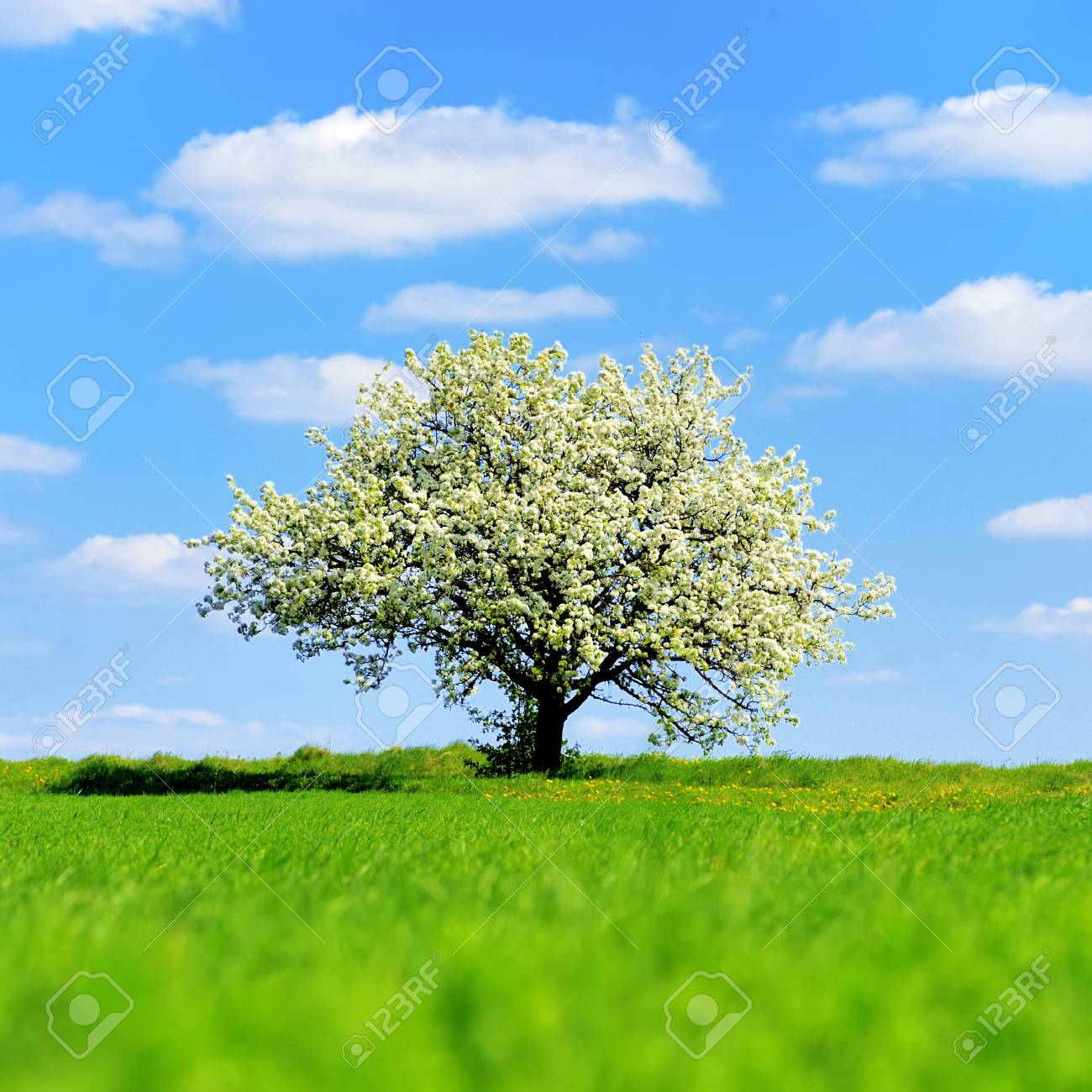 Single blossoming tree in spring on rural meadow - 98729022