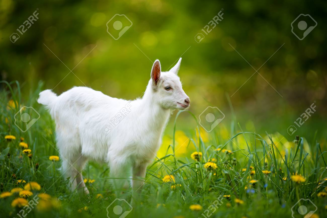 White baby goat standing on green grass with yellow flowers stock stock photo white baby goat standing on green grass with yellow flowers mightylinksfo