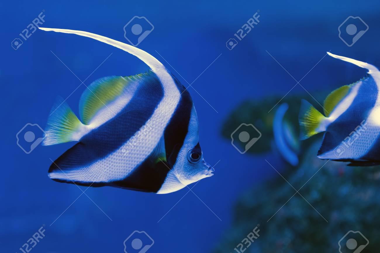 Beautiful Moorish Idol Swimming In The Aquarium Stock Photo