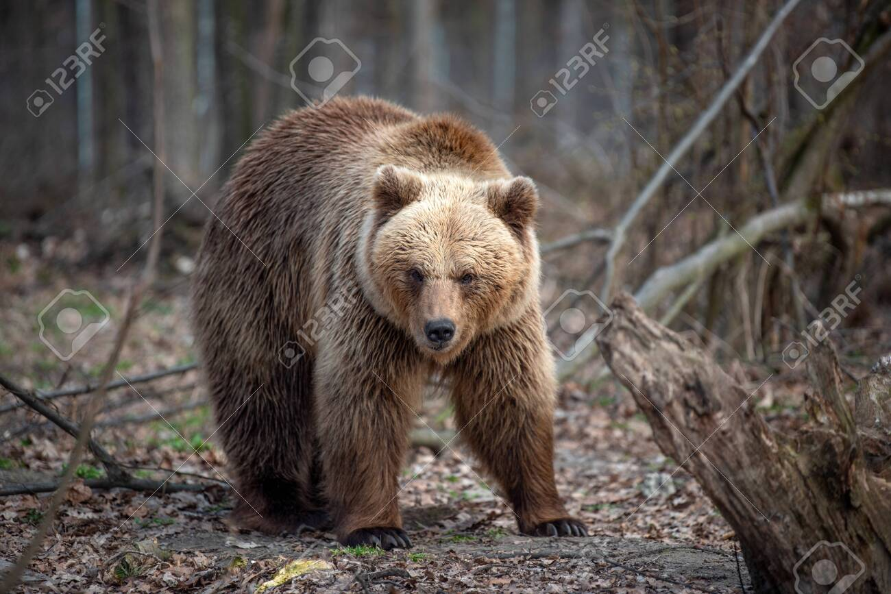 Close up big brown bear in spring forest - 121192639
