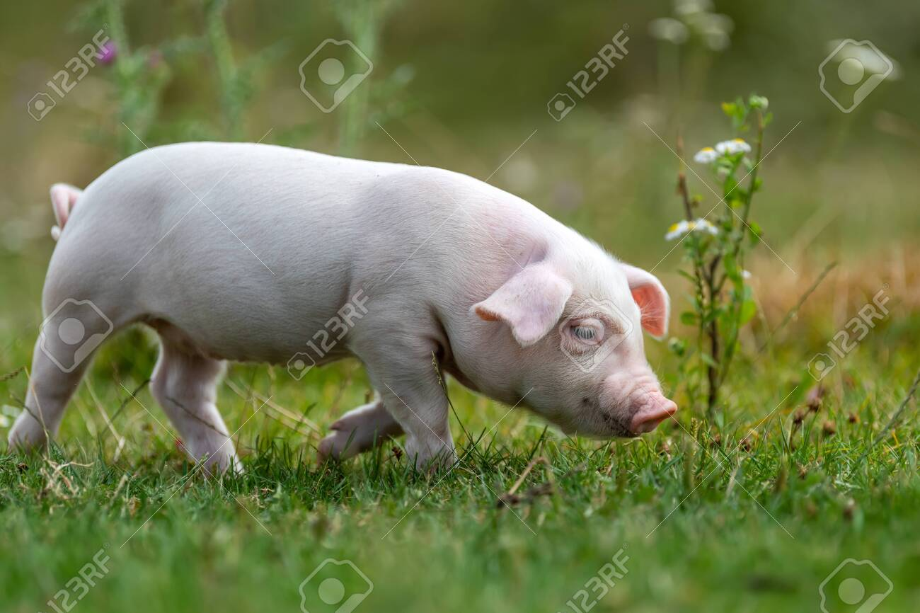 Young funny pig on a green grass in summer time - 129044794