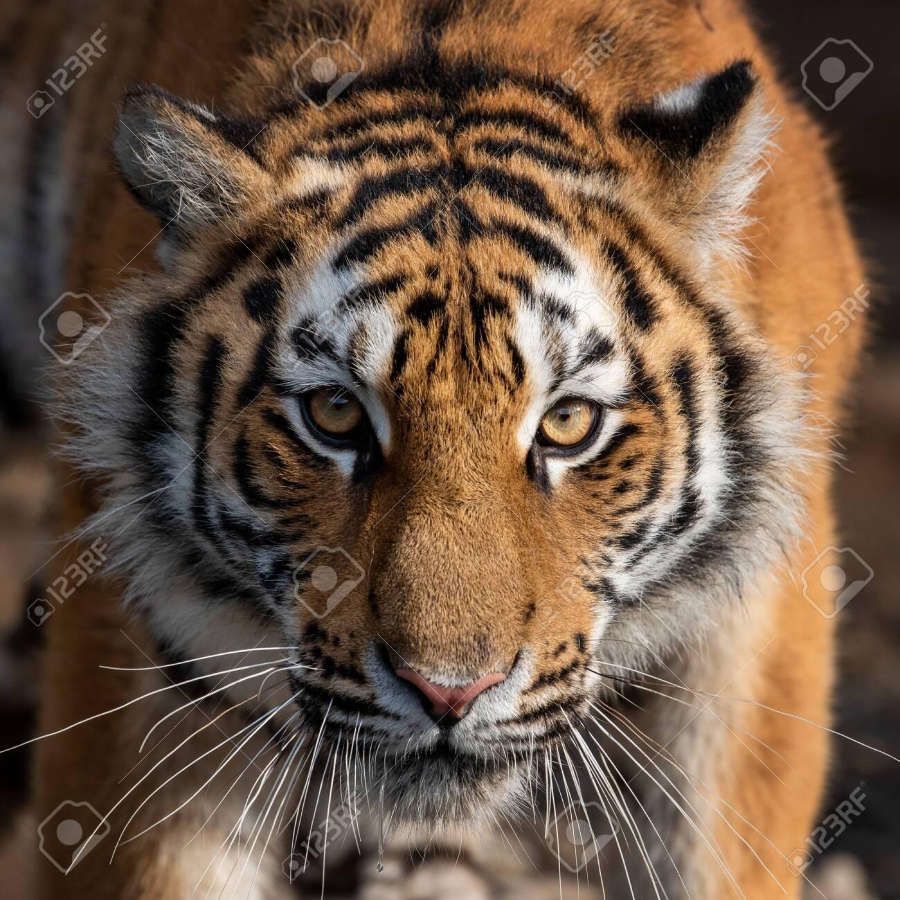 Close up view portrait of a Siberian tiger (Panthera tigris altaica) - 133253783