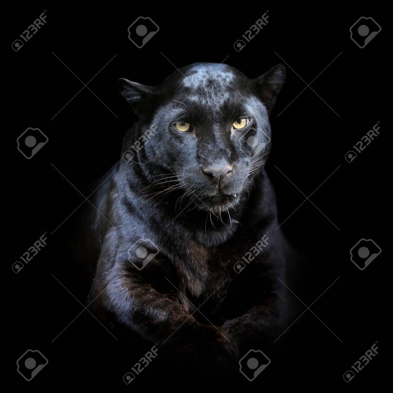 Close up leopard portrait isolated on dark background - 137754942
