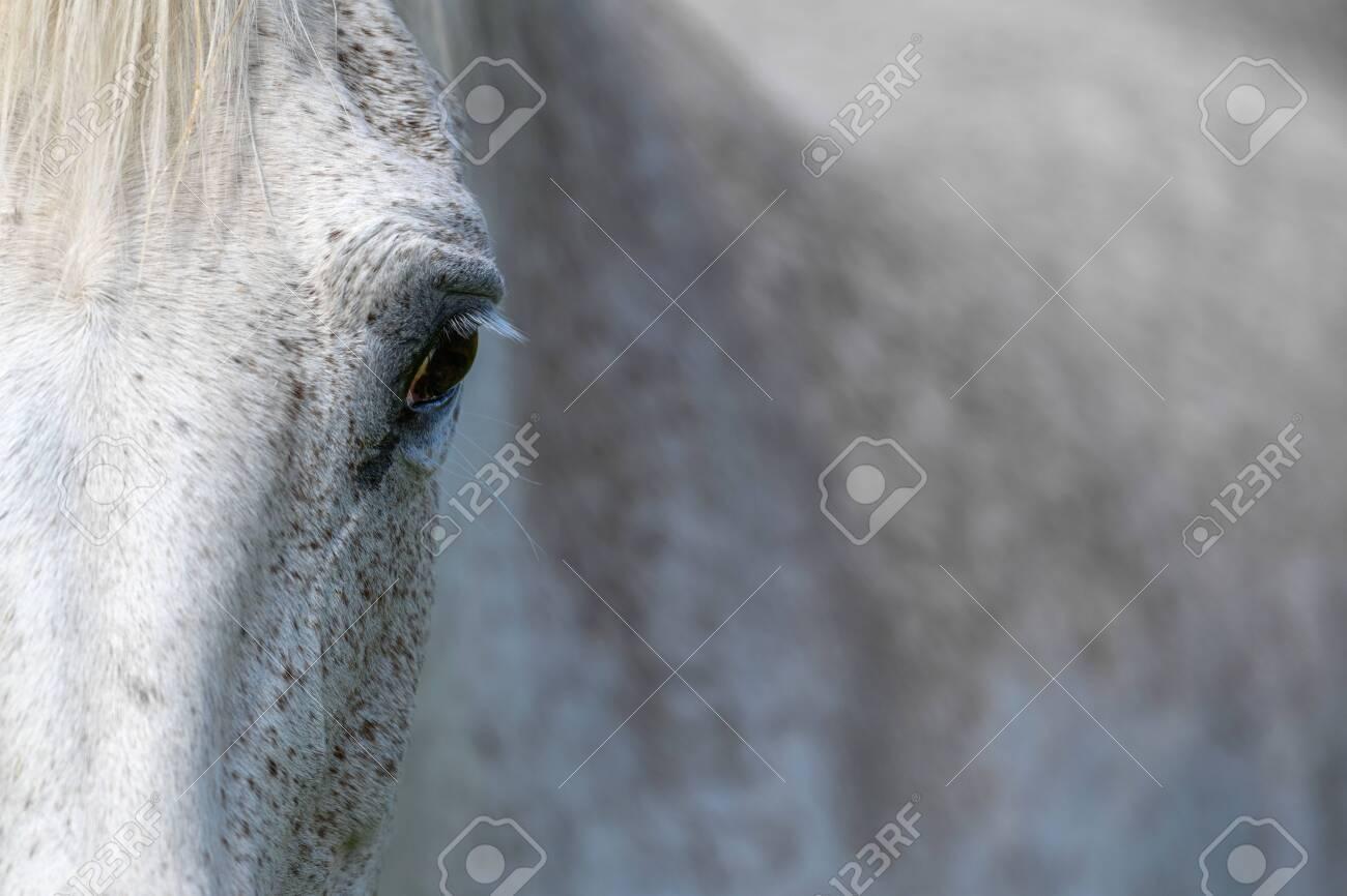 Eye of a grey horse, lit by the sun. Focus on the eyelashes. Animal on farm - 150397383