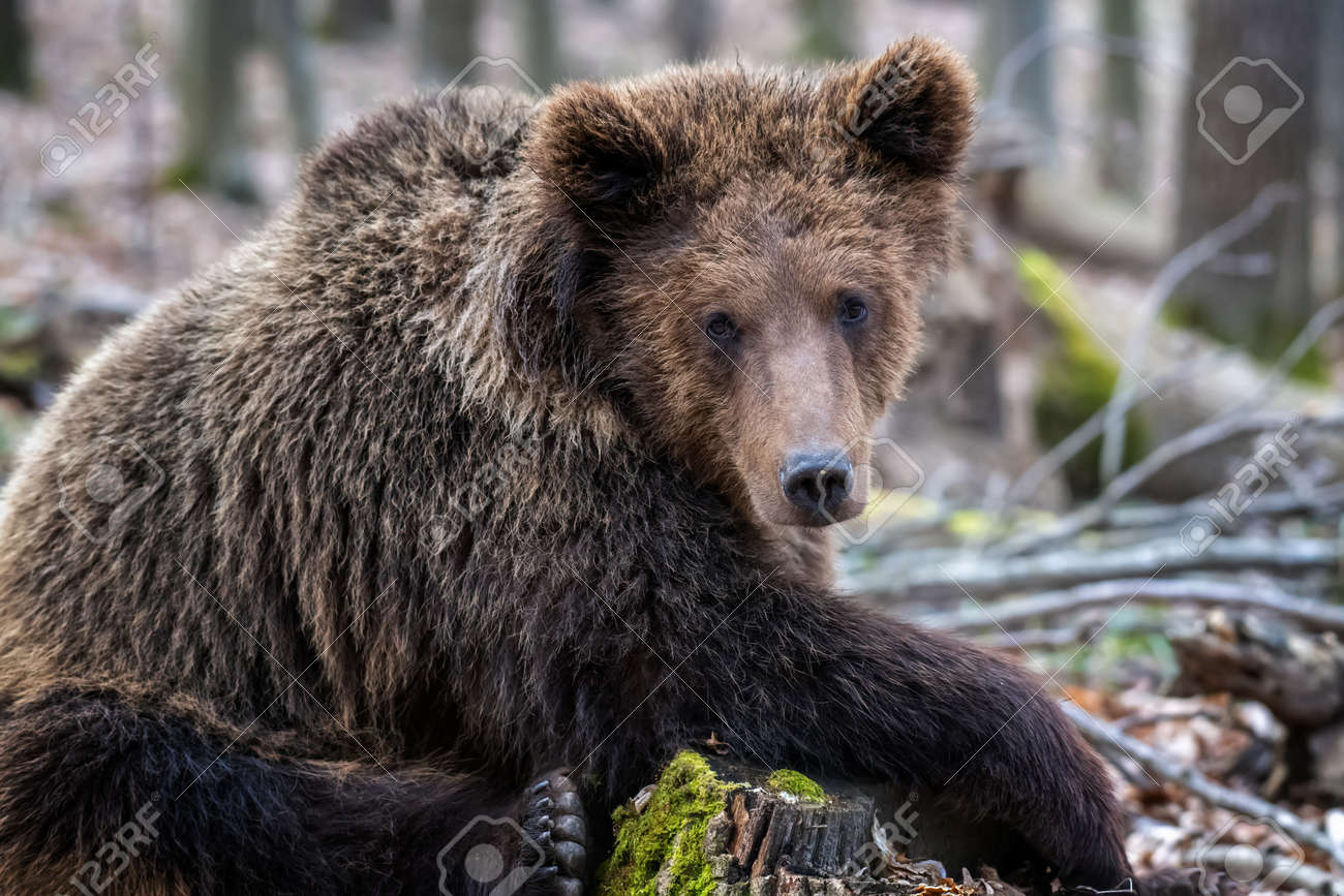 Brown bear in the forest up close. Wildlife scene from spring nature. Wild animal in the natural habitat - 166349492