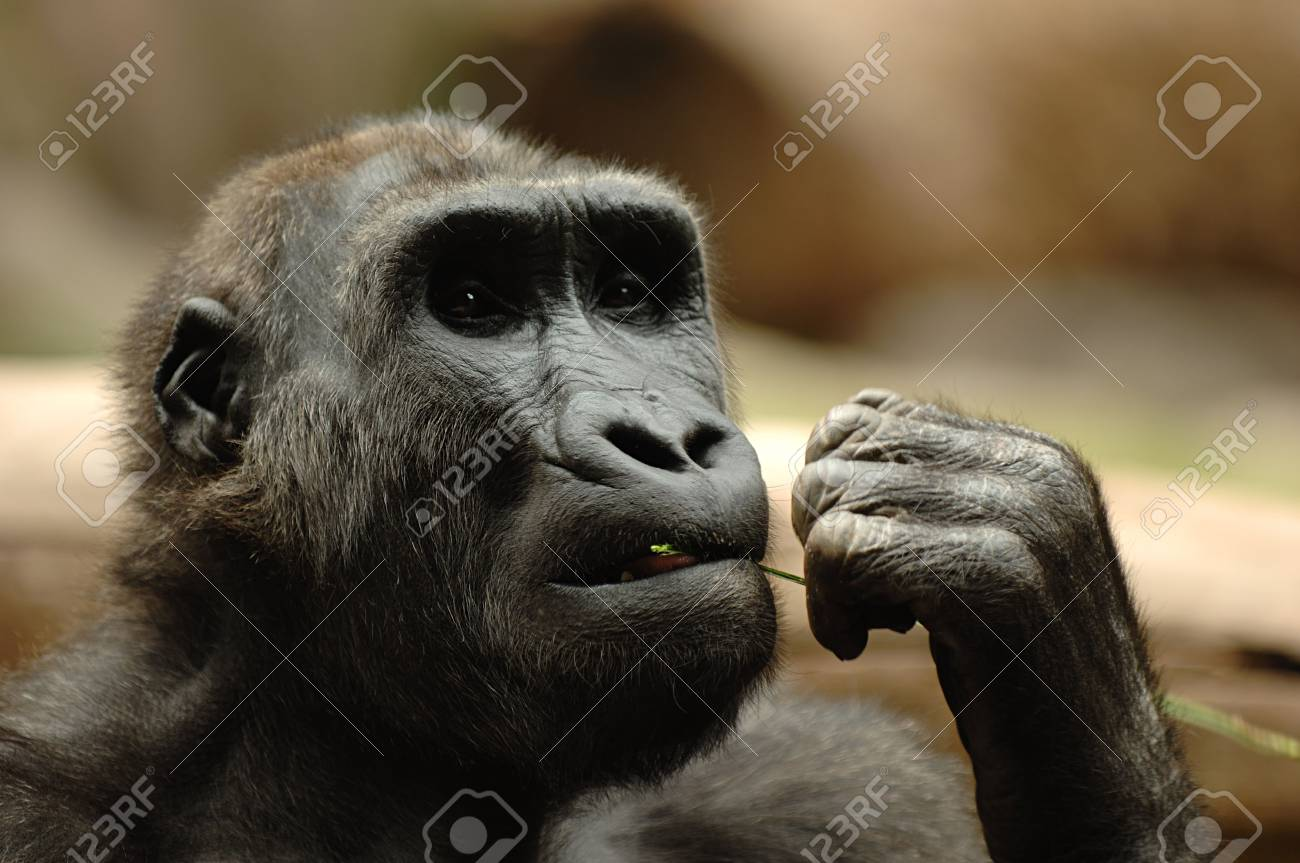 Ape is sitting eating grass Stock Photo - 883765