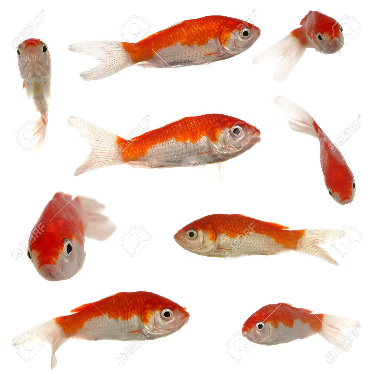 Collection of goldfish. Resolution 3000 x 3000 pixels. On clean white background. Stock Photo - 1648738