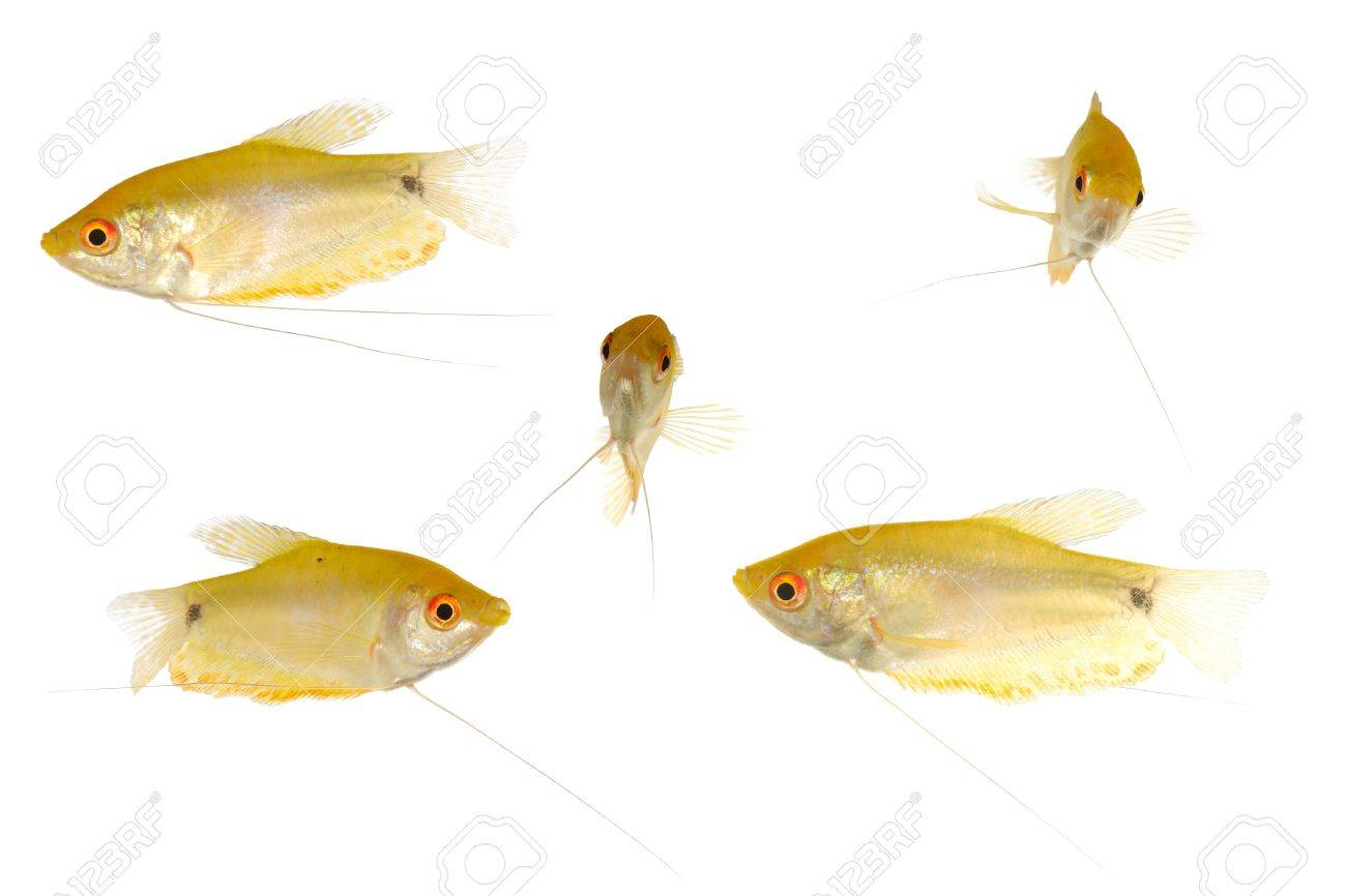 Groupe of yellow fish. Taken on a clrean white background. Stock Photo - 2486642