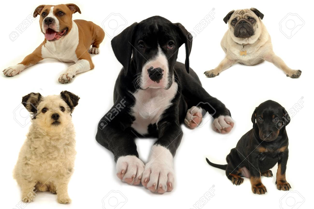 Dog collection isolated on white background Stock Photo - 2707128