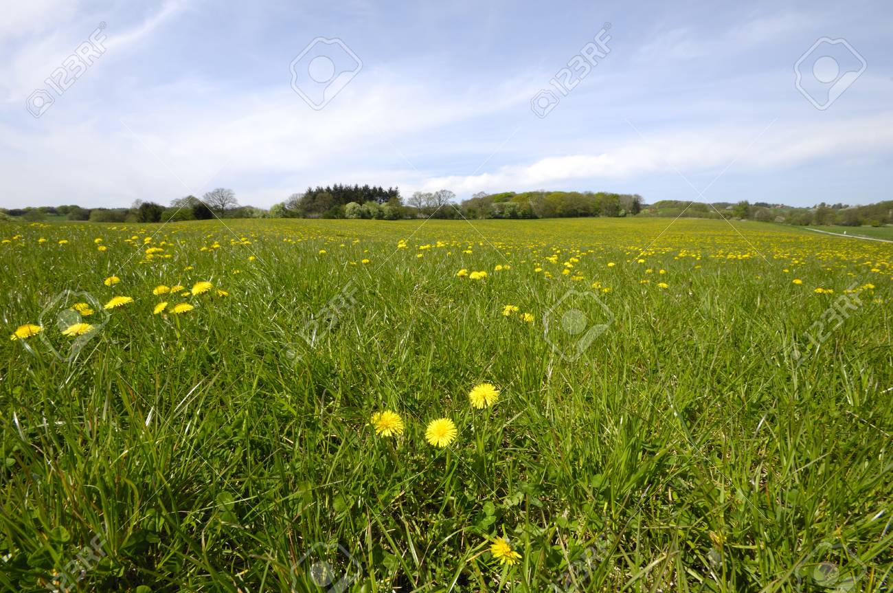A farmland with dandelions and green grass Stock Photo - 3145221