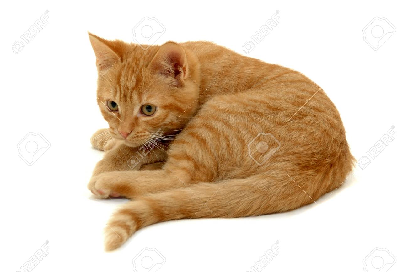 Sweet small kitten resting on a white background Stock Photo - 3434735