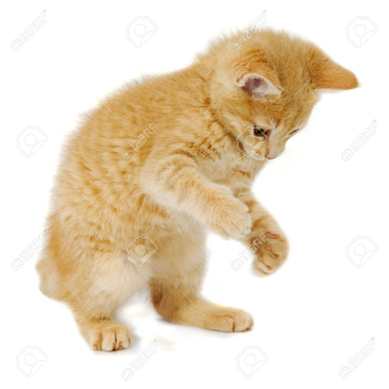 Kitten is standing on a white background Stock Photo - 6604391