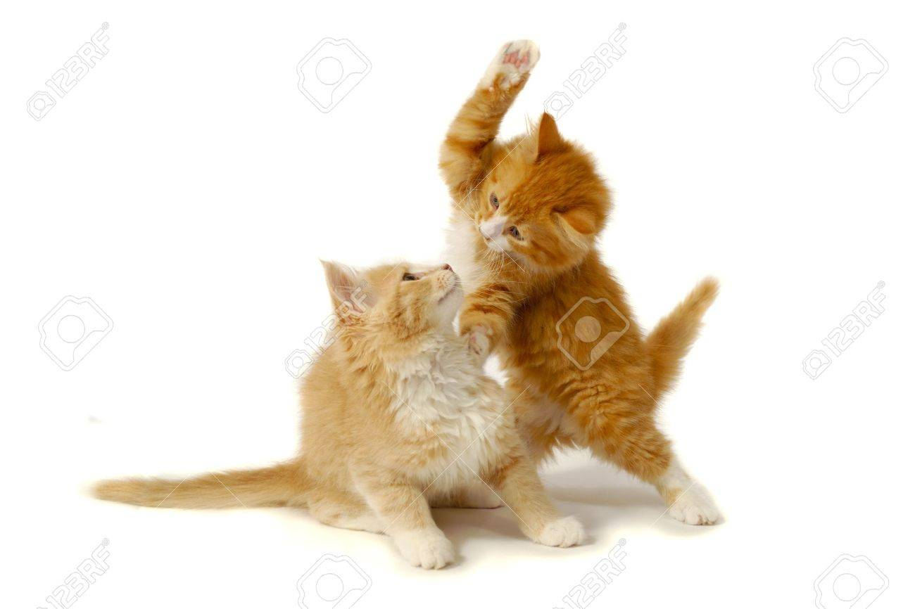 Sweet kittens are fighting and playing on a white background. Stock Photo - 6811220