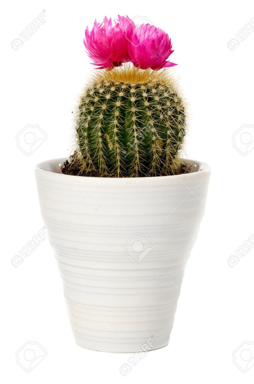 cactus fleur rose dans une casserole. isolé sur un fond blanc
