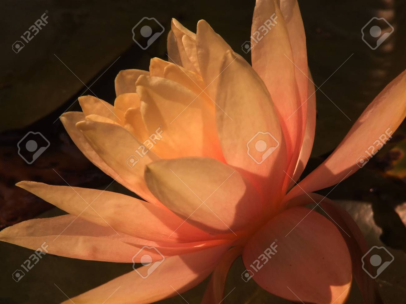 A closeup/macro of a pink waterlily surrounded by green lily pads. Stock Photo - 6026798