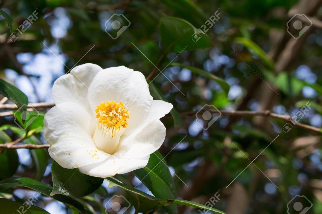 White camellia flowers stock photo picture and royalty free image stock photo white camellia flowers mightylinksfo