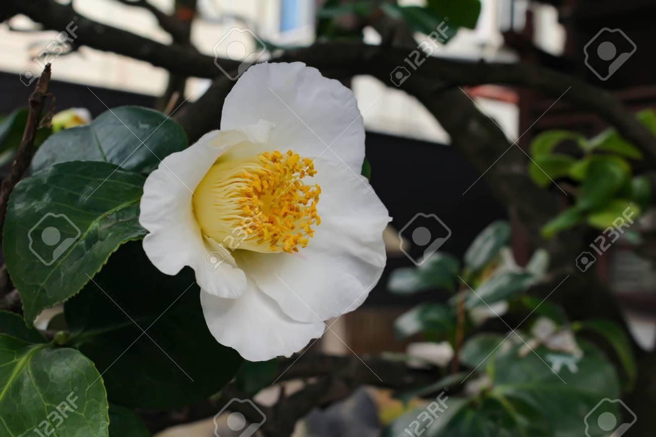 Beautiful white camellia flower stock photo picture and royalty beautiful white camellia flower stock photo 90798718 mightylinksfo
