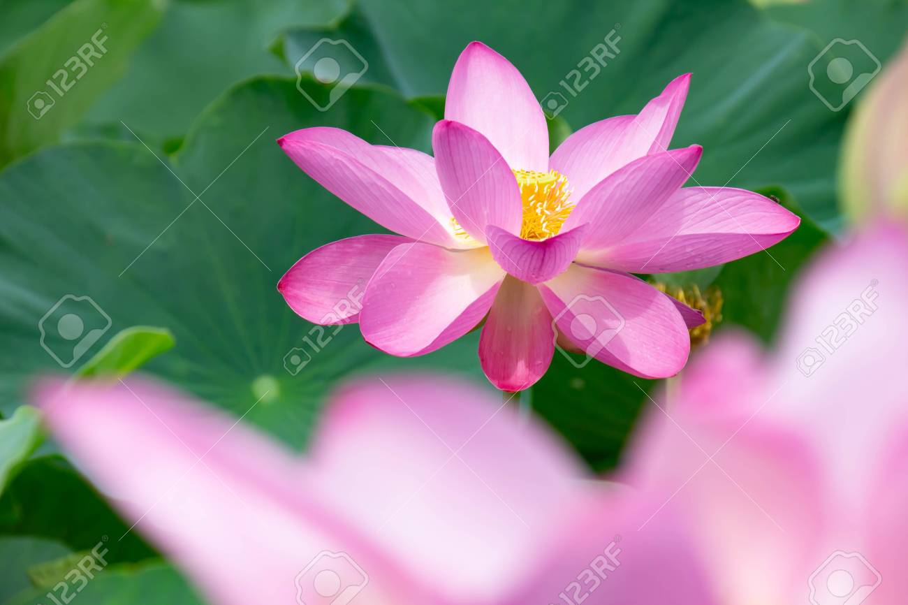 Lotus flowers that open flowers in summer morning after rain stock lotus flowers that open flowers in summer morning after rain stock photo 104821137 izmirmasajfo