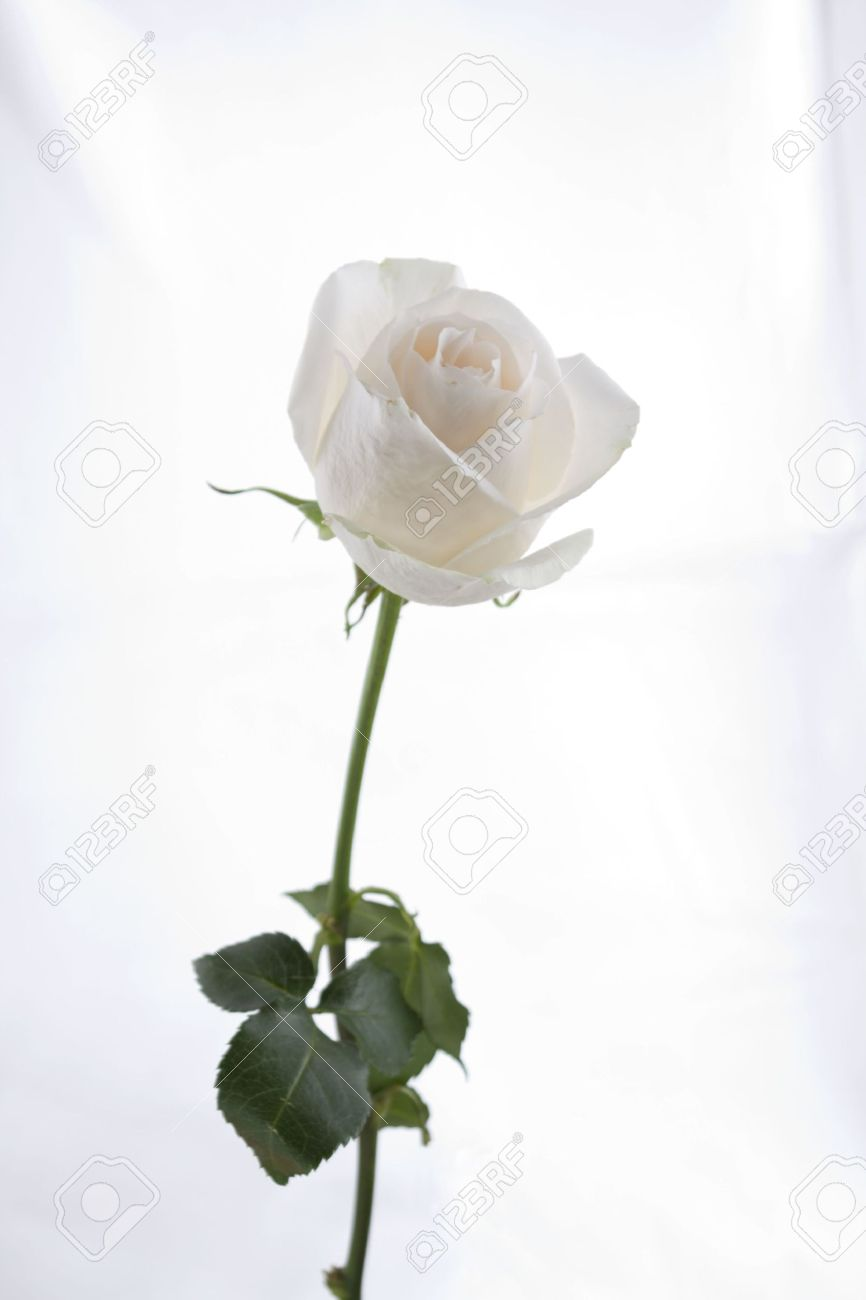 Long stem white rose stock photo picture and royalty free image long stem white rose mightylinksfo