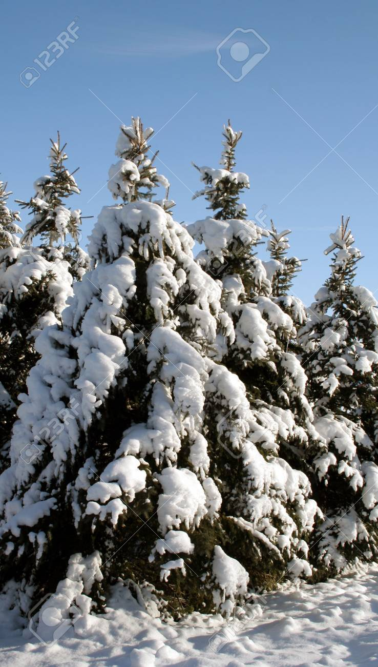 A group of snow covered evergreens. Stock Photo - 578920
