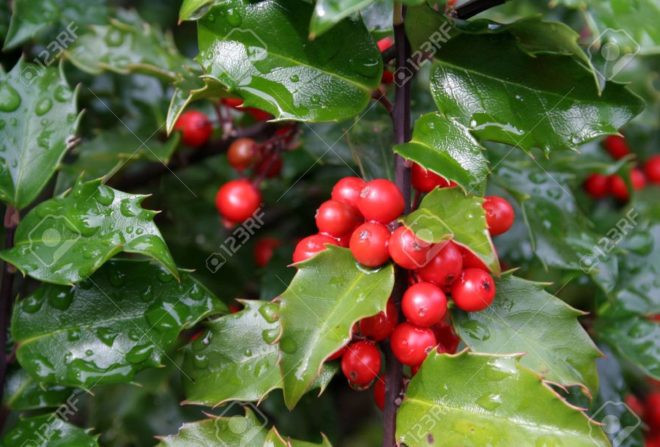 Wet holly berries on a holly bush. Stock Photo - 581475